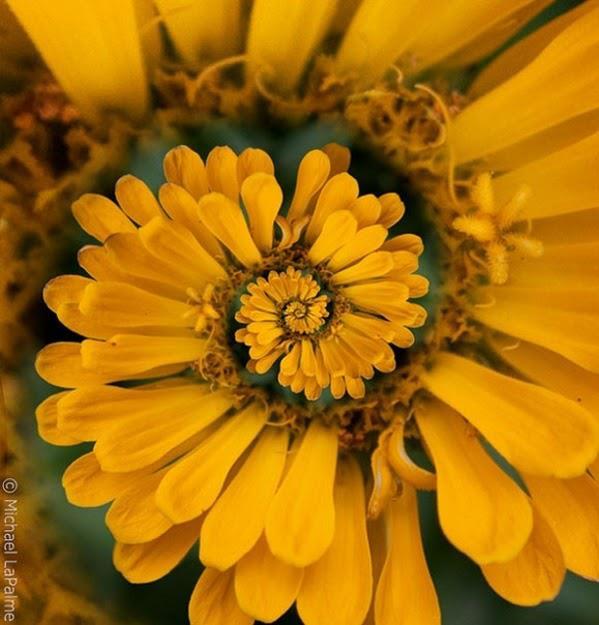 flor espiral amarilla
