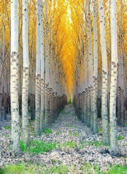 bosque aspen