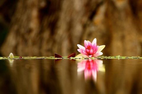 flor en el agua preciosa